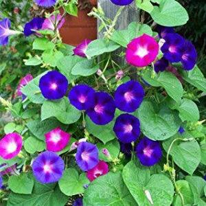 ipomea plant