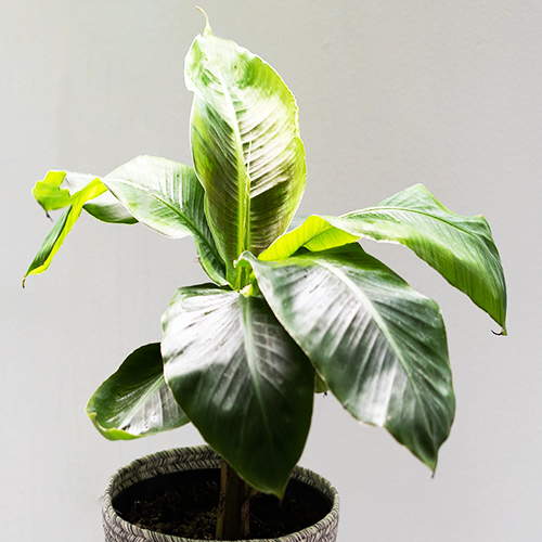 Buy Banana Plant-Dwarf /Musa (Banana Dwarf Cavendish) - Nursery Nisarga