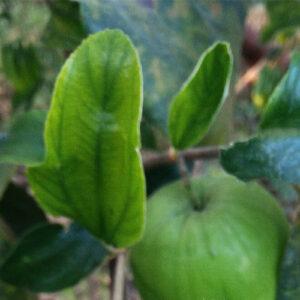 Buy Ber plant/Apple ber/ Indian Jujube - Nursery Nisarga