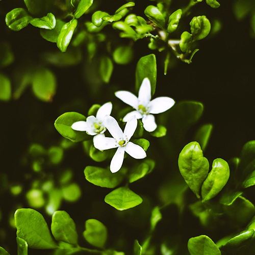 Buy Brahmi plant- Indian pennywort, herb of grace - Nursery Nisarga