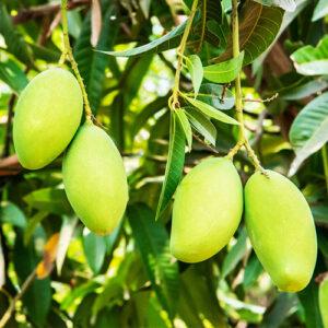 Buy Dasheri aam, Dasheri Mango plant - Nursery Nisarga