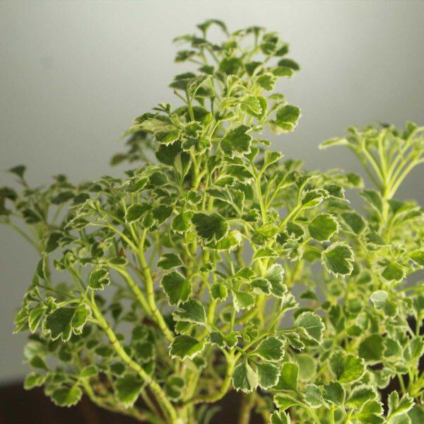 Buy Aralia plant, spikenard, golden online at Nursery Nisarga