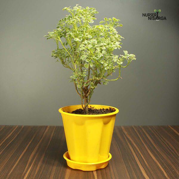 Buy Mini Golden Aralia plant, spikenard online