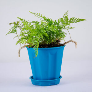 Buy Rabbit foot Fern, Davallia fejeensis Online At Nursery Nisarga