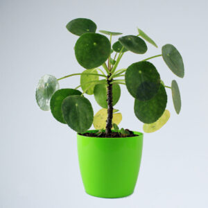 Buy Pancake plant, chinese money plant, Pilea peperomioides