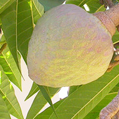 Buy Ramphal Wild Sweetsop Plant - Nursery Nisarga