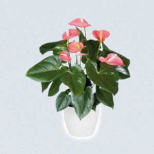 Buy Anthurium, Laceleaf plant - Best price online at Nursery Nisarga