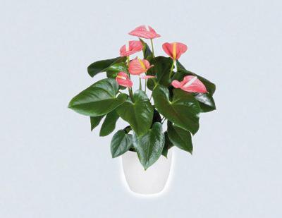 Buy Anthurium, Laceleaf plant - Best price online at Nursery Nisarga