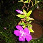Begum bahar, Glory bush and purple glory tree