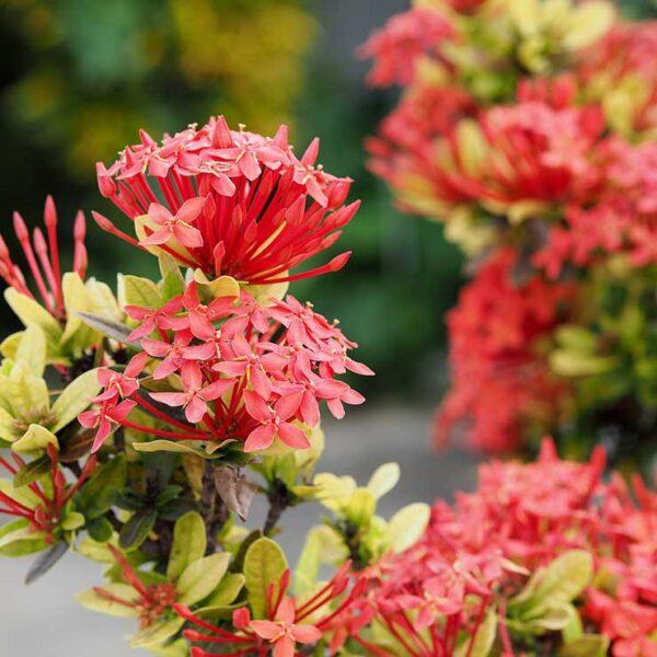 red mini ixora plant