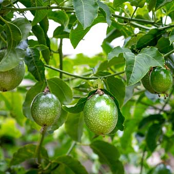 Passion Fruit Plant, Krishna Fal