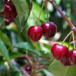 Buy Cherry plant