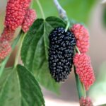 Buy Mulberry, shahtoot - plant online at Nursery Nisarga