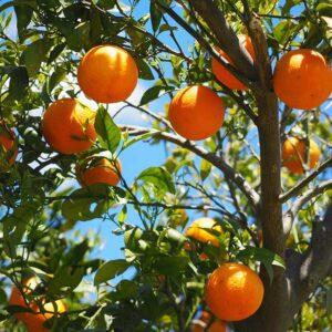 Buy orange plant grafted, online - Nursery Nisarga