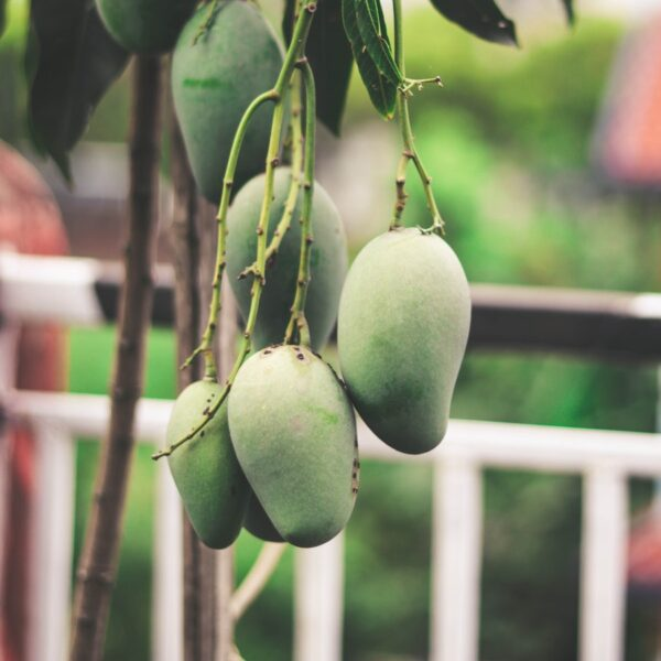 Buy Alphonso Mango, Hapus aam online - Nursery Nisarga