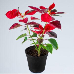 Buy Poinsettia plant- christmas flower