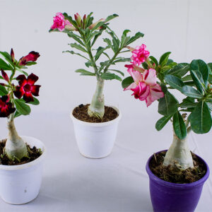 Buy Adenium, Desert Rose - plant
