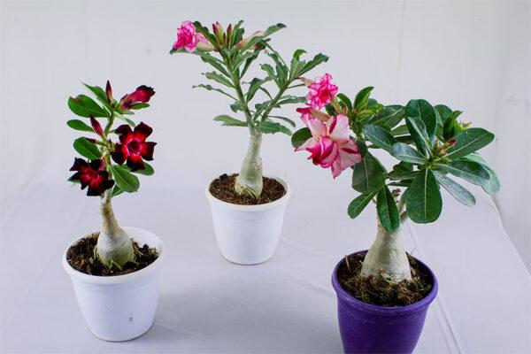 Buy Adenium, Desert Rose - plant