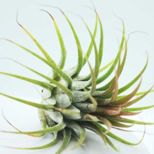 Buy Air plant, Tillandsia online at Nursery Nisarga