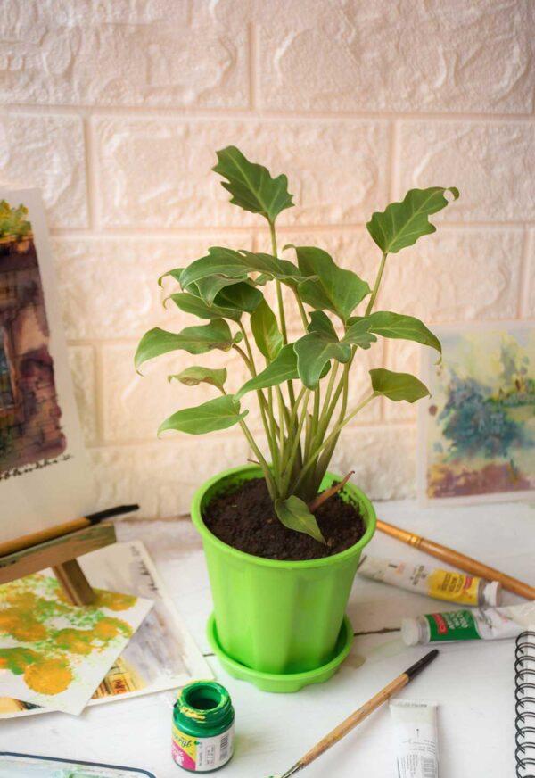 Buy Philodendron Xanadu, Best indoor foliage plant - Nursery Nisarga
