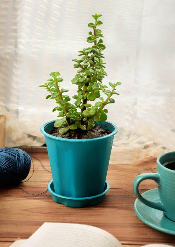 Buy Jade plant - Crassula Ovata gift plant for love ones - Nursery Nisarga