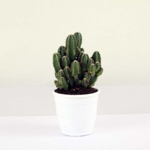 Exotic Elongated Cactus plant on sale - 40% off on Succulent plant