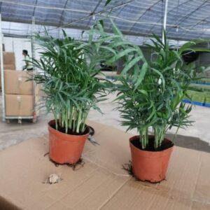 Bamboo palm, Chamaedorea elegans