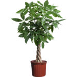 Buy Money Tree plant, Guiana Chestnut - Pachira plant online - Nursery Nisarga