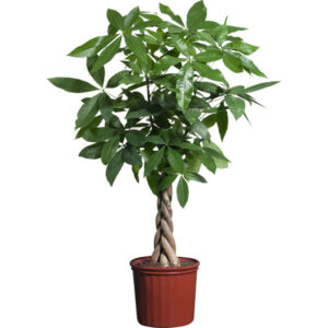 Buy Money Tree plant, Guiana Chestnut - Pachira plant online - Nursery Nisarga