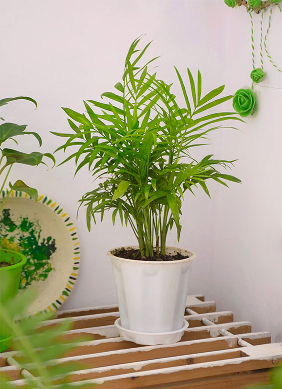 Buy Parlour Palm, Bamboo palm, Chamaedorea elegans online - Nursery Nisarga