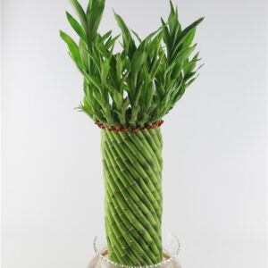 Buy Spiral cage lucky bamboo - Nursery Nisarga