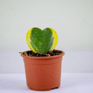 Sweatheart-Hoya-Plant