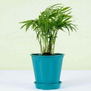 Buy Parlor Palm, Bamboo palm, Chamaedorea elegans online - Nursery Nisarga