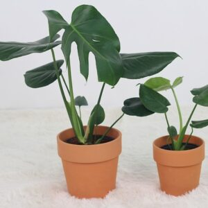 Buy Exotic Monstera Deliciosa, Swiss Cheese plant - Nursery Nisarga