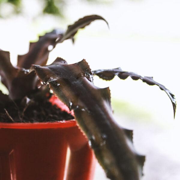 Buy Earth star plant – Variegated Pink Cryptanthus Bromiliad M- Cryptanthus long - at Nursery Nisarga