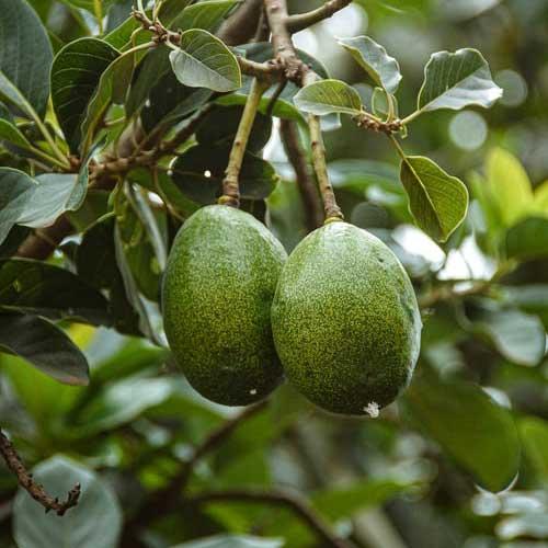 Avocado Plant - Persea Americana, Butter Fruit Plant