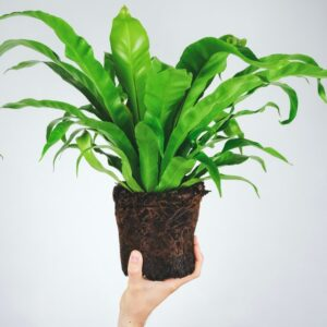 Buy Bird Nest Fern -Asplenium Nidus Plant