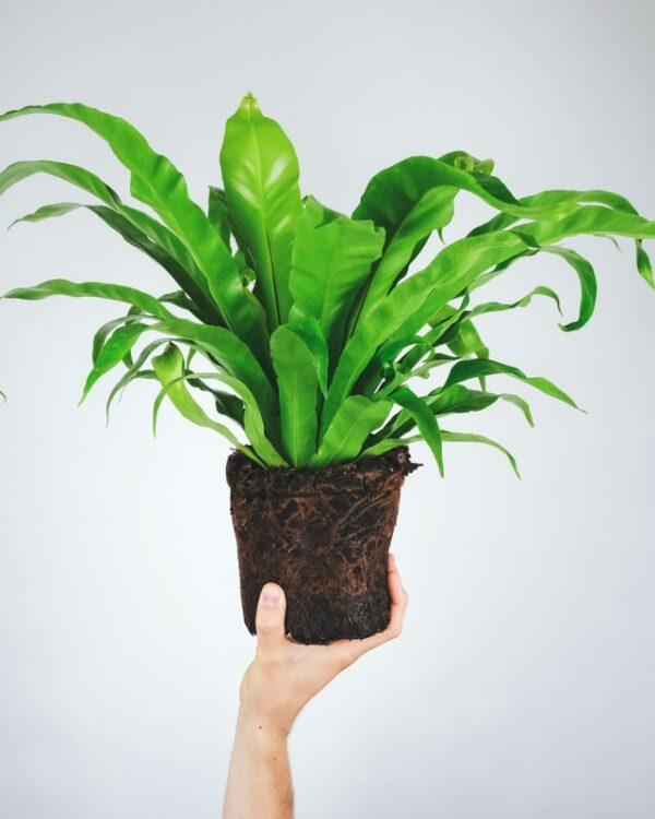 Buy Bird Nest Fern -Asplenium Nidus Plant