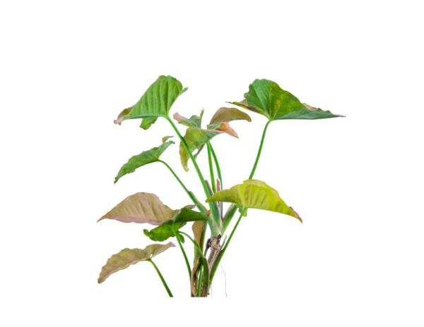 Syngonium Plant