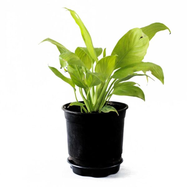 Buy Peace Lily, Spathiphyllum (Golden) - Plant Online at Nursery Nisarga