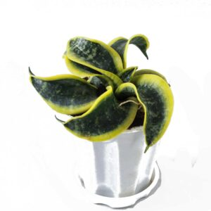 Buy Twisted Sansevieria trifasciata Online At Nursery Nisarga