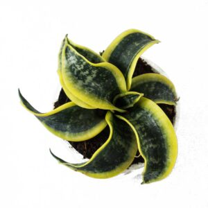 Buy Twisted Sansevieria trifasciata Online At Nursery Nisarga