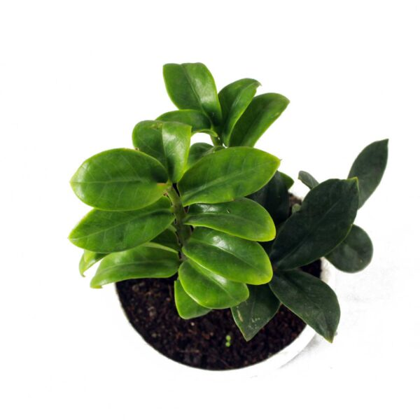 Buy Twisted ZZ Palm, Zamioculcas zamiifolia, Zamiya Palm - 20% off at Nursery Nisarga