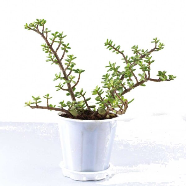 Buy Jade Plant Variegated - Elephant Bush Plant, Portulacaria Afra Variegated, Lucky Plant