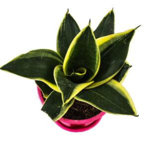 Dwarf Golden Hahnii Sansevieria - Golden Snake plant