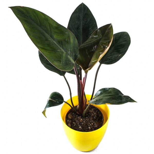 Buy Philodendron - Nursery Nisarga