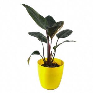 Buy Philodendron Rojo Congo - Nursery Nisarga