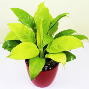 Buy Peace Lily, Spathiphyllum (Golden) Plant - Nursery Nisarga