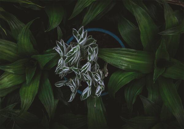 Pedilanthus-variegated-with-dracaena-fragrance
