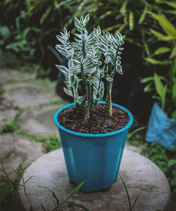 Buy Variegated Pedilanthus Backbone of Devil Plant online - Nursery Nisarga